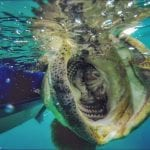 goliath grouper mouth