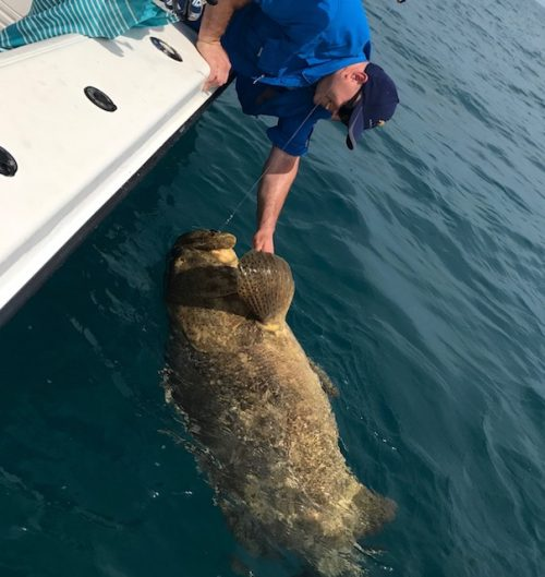 Goliath Grouper Fishing Charters Clearwater Fl Fisheye Sportfishing